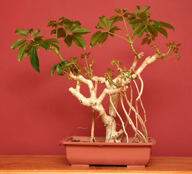18 Amazing Facts About Bonsai Trees