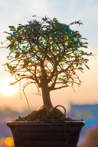 Remember Your Loved One With A Bonsai Tree